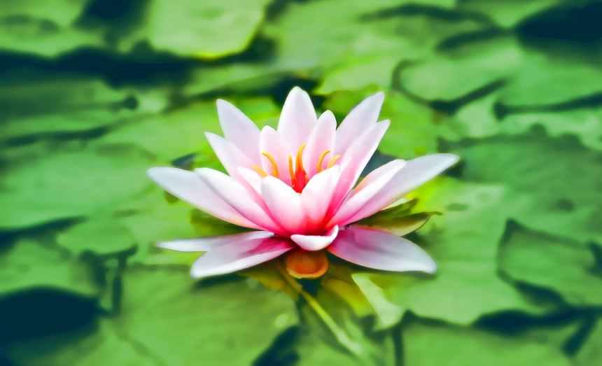 aquatic bloom blooming blossom